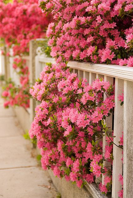 Pink Flowers thru the fence