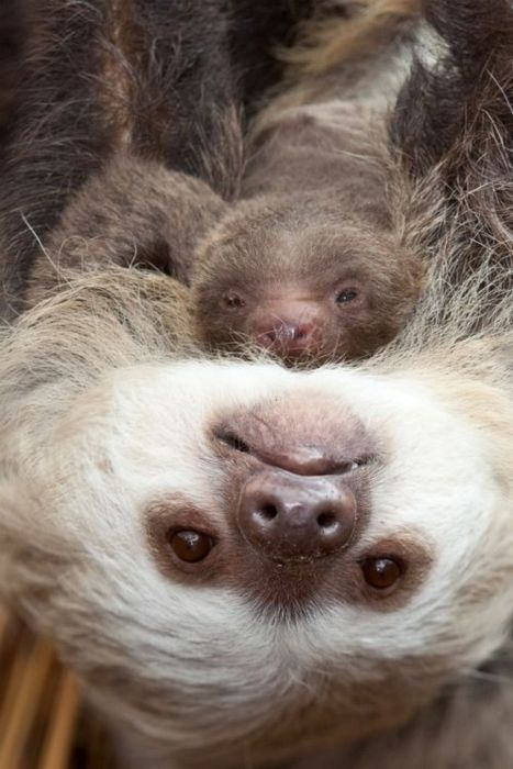 Sloth mommy and baby