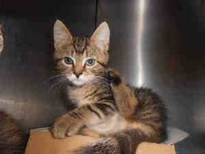 SHIRLEY is an adoptable Domestic Short Hair Cat in Pittsburgh, PA.  ...