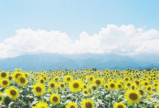 Akeno Sunflower Field (???????)