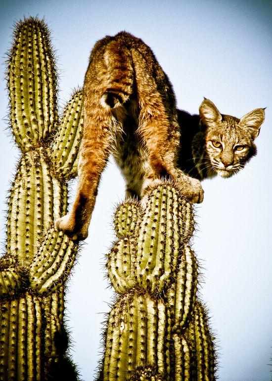 Gato Montes Wild Cat by PACO
