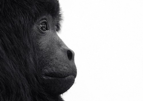 Howler Monkey Profile Photo  8x10 Black and White by StephsShoes, $17.50