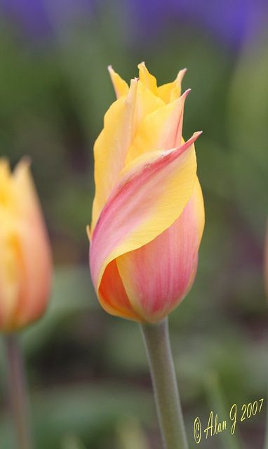 Pastel Colored Tulips - Lovely :)