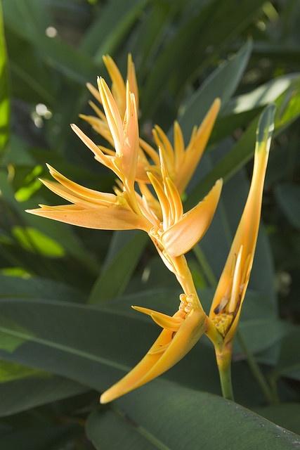 bird of paradise flower (Sepilok - Borneo Malaysia)