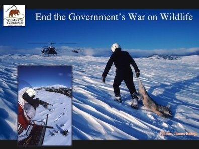"""HELP STOP THE WAR ON WILDLIFE!  TELL CONGRESS TO DEFUND THIS ROGUE AGENCY!We taxpayers' fund an agency called """"Wildlife Services"""", a branch of the USDA that is waging a corrupt war on America's wildlife. Between 2004-2011 Wildlife Services has brutally killed over 26 million animals all under the PRETENSE of protecting livestock. Most livestock die from illness, weather, and birthing problems, not from predation. In fact, of the total cattle inventory in the USA, less than 1% die from predation."""