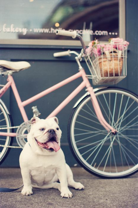 Such a sweet, beautifully hued shot of a charming pink bicycle and delightfully cute bulldog. #pink #bike #bulldogs #bicycle #dogs #pets #animals #cute #adorable #puppies #Englishbulldog