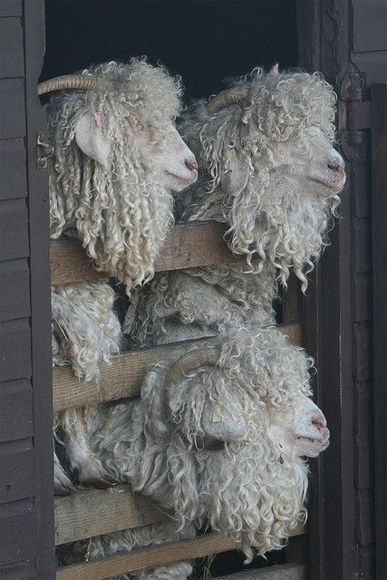 Curly haired sheep