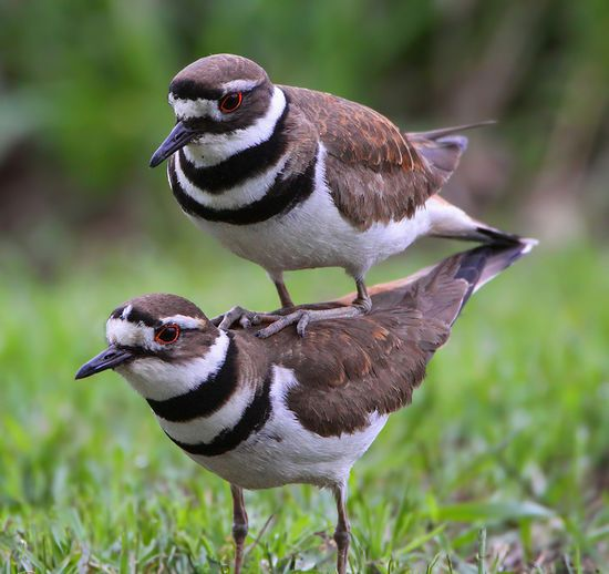 Killdeer (Charadrius vociferus) - Interesting pose . . . Known for their broken wing act to draw threats away from their nests.  Found across North and Central America.