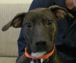LouLou is an adoptable Pit Bull Terrier Dog in Chesterfield, VA. Please come visit with this wonderful companion animal at the Chesterfield County Animal Shelter. The Shelter is located at 9300 Public...