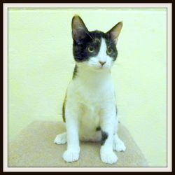 Bonsai is an adoptable Calico Cat in Glendale, AZ. DOB: 12/29/12 Spayed Female Breed: DSH – Calico Weight: 6.03 lbs. Sweet and affectionate               Loves attention Active (normal for age)       ...