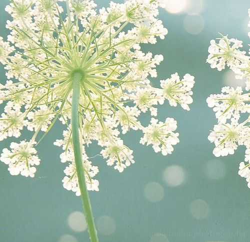 This is my favorite flower ~ EVER ~ Queen Anne's Lace ~ beautiful!
