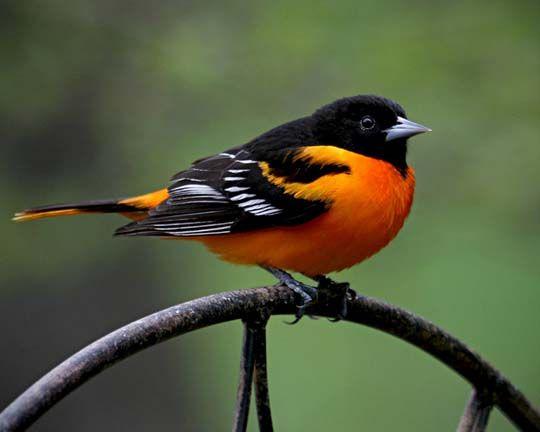 Black and orange bird