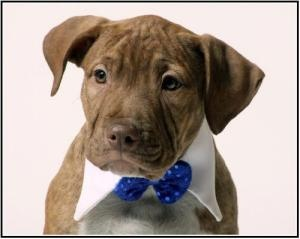 Marley is an adoptable Pit Bull Terrier Dog in Richardson, TX. At the end of November, a stray pregnant dog's luck changed forever when she crossed paths with?a family of good samaritans. They took he...