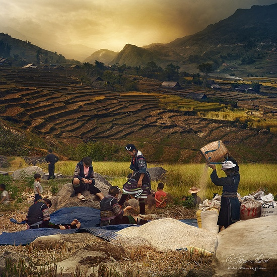 A picturesque photo of Rice harvesting in #Vietnam.