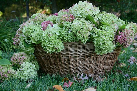 basket of hydrangeas