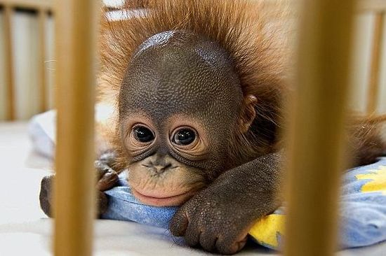 There is absolutely nothing cuter in life than a baby orangutan