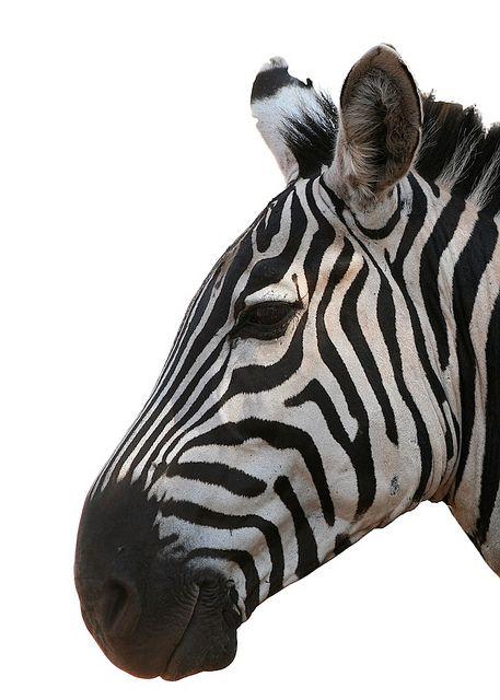 Zebra head on white background, via Flickr.