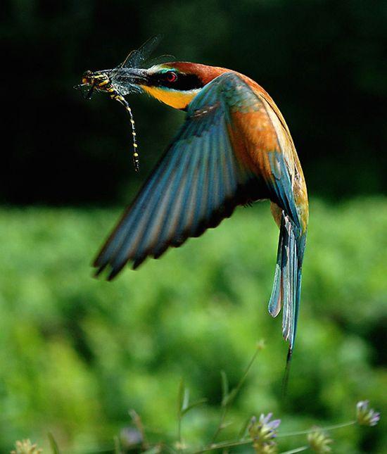 Birds. Bee eater bird