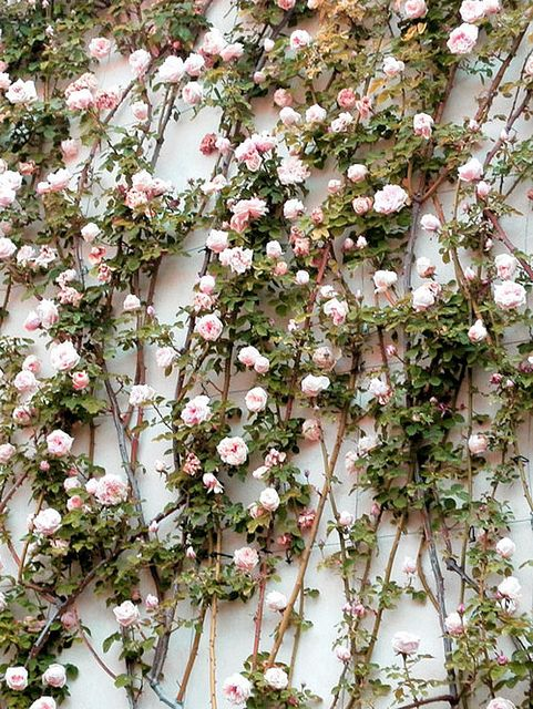 Climbing Roses~~~  {style inspiration