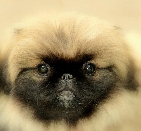 Pekingese  i want his one