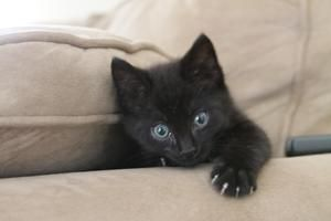 Taylor is an adoptable Domestic Short Hair-Black Cat in Columbus, GA. Taylor is the sweetest little boy, he is about 9 weeks old. he needs lots of loving and just wants to be your baby. Hold him and l...