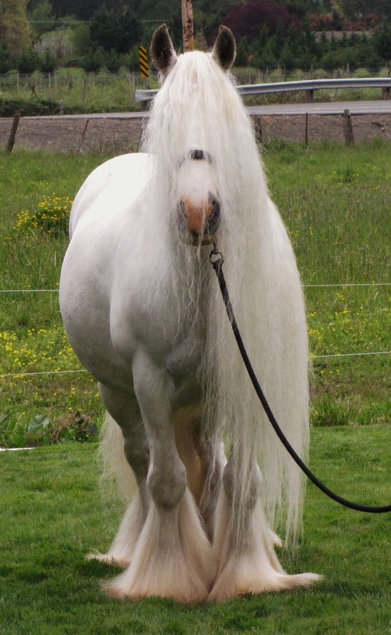 Glinda was imported from Clononeen farms in 2007 and is Irish bred.  Gypsy horses amaze me. Awesome!