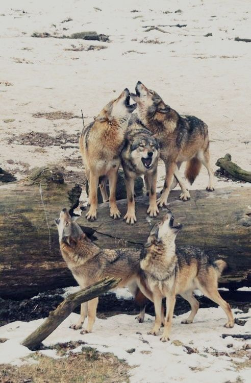 Wolf pack.