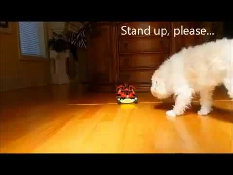 FUNNY DOGS VIDEOS SCARY FUNNY PRANKS Cookie on Wheels - movies.chitte.rs/...
