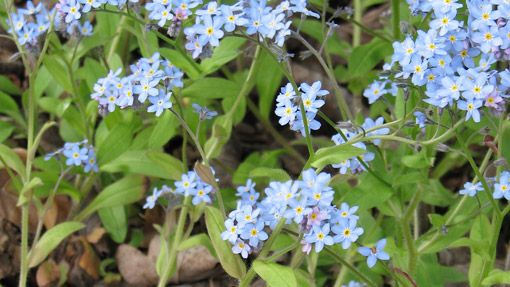 "Myosotis sylvatica ""Forget-me-nots""have small, pretty, blue flowers and if sown this month will flower in the spring next year. They look lovely among spring bulbs such as tulips and you can collect the seeds to sow for the following year. Sow the seeds from May to September and they will flower from April to June. These plants will grow in sun or part shade."
