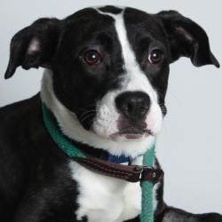 #CALIFORNIA #URGENT ~ 15697_Milo is an #adoptable Pit Bull Terrier Dog in #Oakland. Sweetness alert! Milo is way too modest a little boy but I will tell you that this boy is sweet with a capital S.---------- Oakland Animal Services, Oakland, CA. PH 510-535-5602
