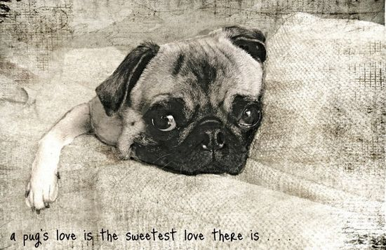 A Pug's Love...... ?