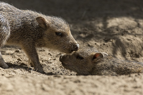 Chacoan peccary babies... what cuties! #babies #animals #sandiegozoo