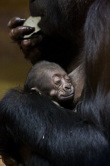 1 day old baby Gorilla and mother by Evan Animals, via Flickr