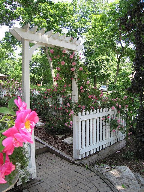 love this fence and trellis with a John Davis rose climbing up it.