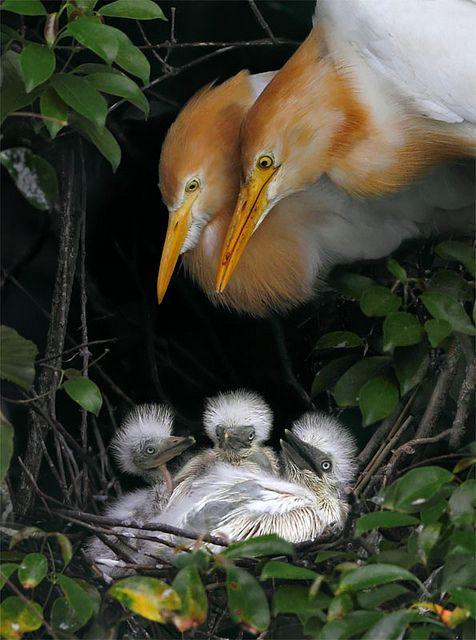 ? Cattle Egret