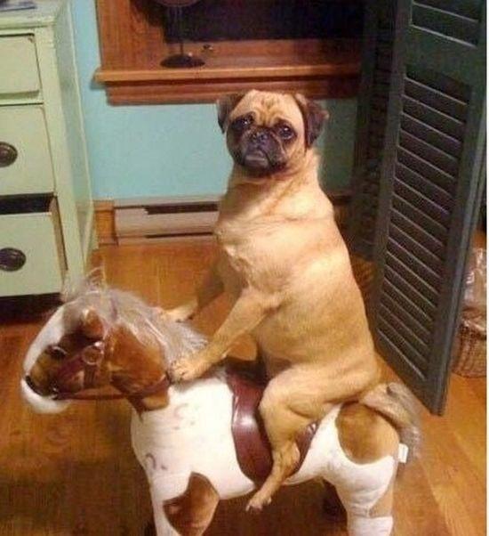 pug riding a pony.
