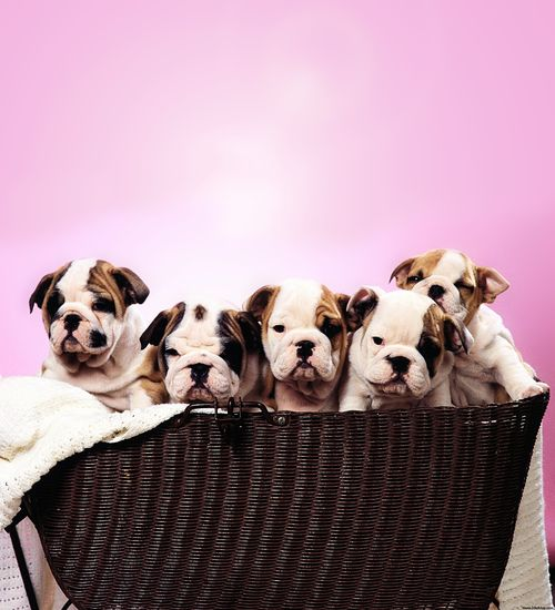 English Bulldog puppies ~ can I have them all..
