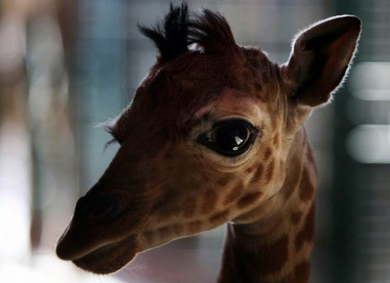 Baby Giraffe, Stunning photo!