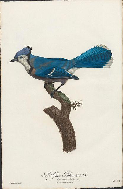 Le Geai Bleu no. 45 by peacay, via Flickr