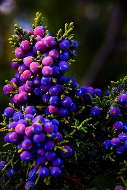 Juniper berries.  // Great Gardens & Ideas //