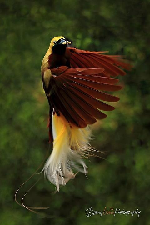 The Dancing Bird of Paradise - INDONESIA  by Donny Louis.