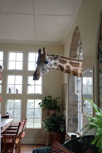 The inside of Giraffe Manor, a hotel in Nairobi where the giraffes love to stick their heads in!
