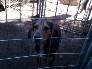 JD Y11-425 is an #adoptable Hound Dog in #Appling, #GEORGIA. Sissie is a small 1 1/2 year old,lab mix, about 38 pounds. She is a sweet girl who was adopted at 9 weeks and then dumped at Richmond County Anima...http://www.petfinder.com/petdetail/25489927
