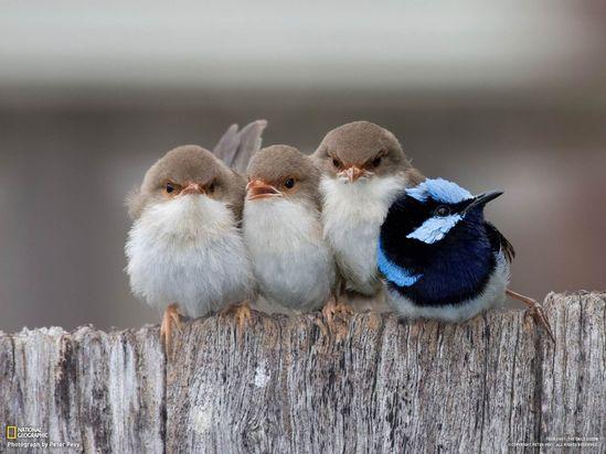 Superb Fairy Wren chicks (three females, one male)