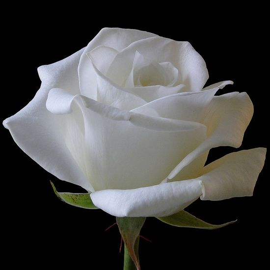 White Rose perfection