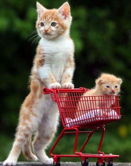 This orphaned kitten loves to push his stepbrother around in a tiny, kitten-sized shopping cart.