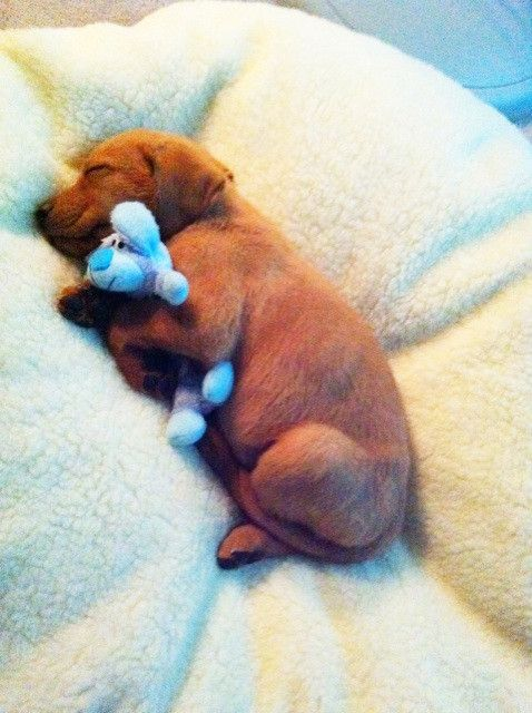 Cutest puppy ever snuggling bear?