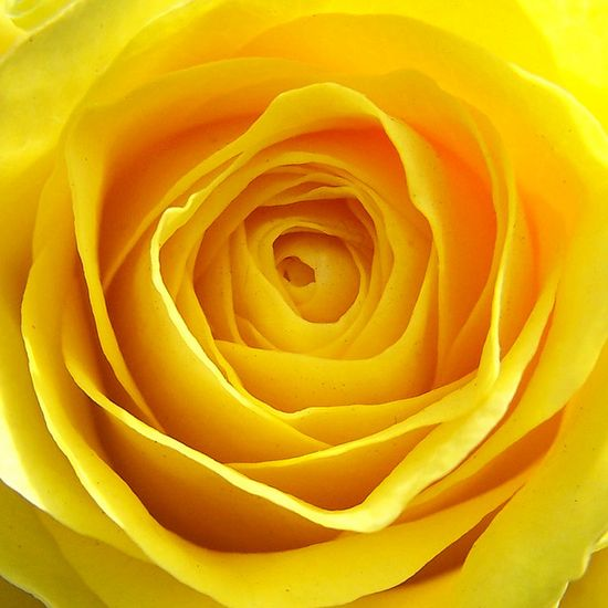 Mellow yellow rose
