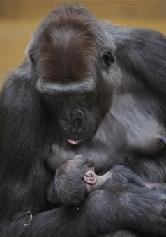 A gorilla holds her 4-day-old baby at the zoo in Hanover, Germany. The mother has been keeping her offspring so closely that animal keepers have not yet been able to determine its sex.    More: