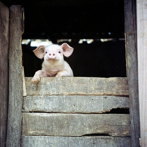 the peeking pig.